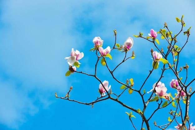 Kwiat drzewa z kwiatami magnolii. gałąź kwiat na błękitne niebo, wiosna.