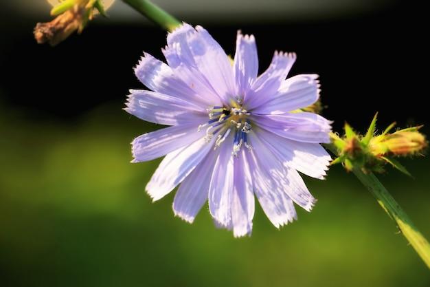Kwiat dzikiej cykorii