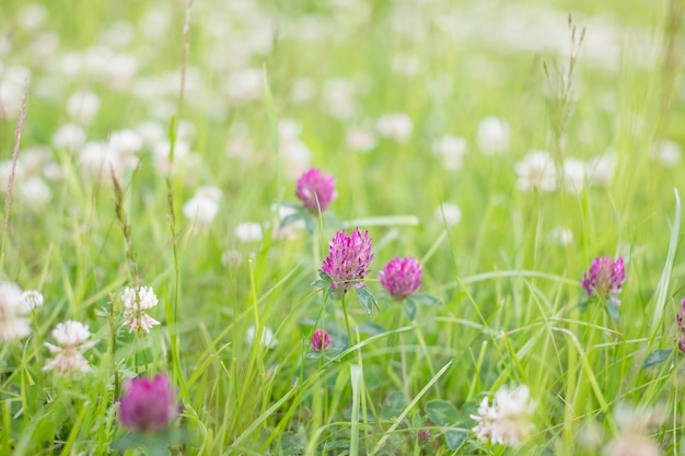 Kwiat dzikiej łąki różowej koniczyny w zielonej trawie w polu w naturalnym miękkim świetle słonecznym, w sezonie letnim, jesienne zdjęcia archiwalne na zewnątrz w pastelowych kolorach i romantycznej atmosferze. dzień środowiska.