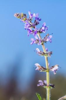 Kwiat dzikiej szałwii (salvia verbenaca)
