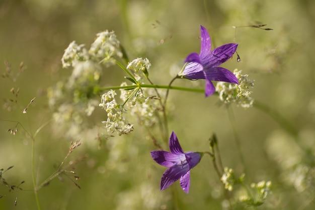 Kwiat dzwonka dzikiego rampion. jego łacińska nazwa to campanula portenschlagiana syn campanula muralis