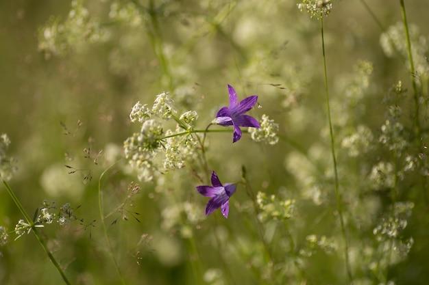 Kwiat dzwonka dzikiego rampion