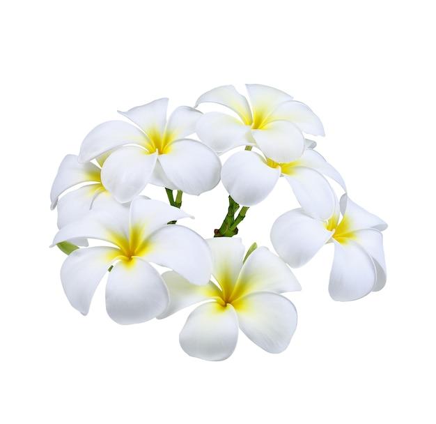 Kwiat frangipani (plumeria) na białym tle