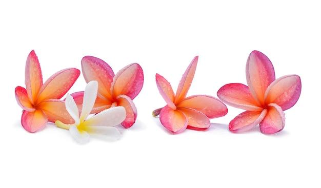 Kwiat frangipani z kroplami wody na białym tle