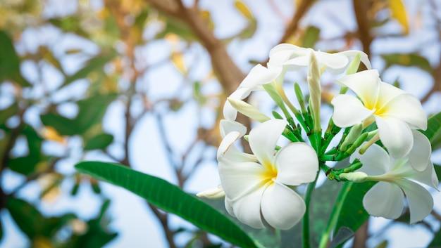Kwiat frangipani z zielonymi liśćmi. białe kwiaty z żółtym środkiem.