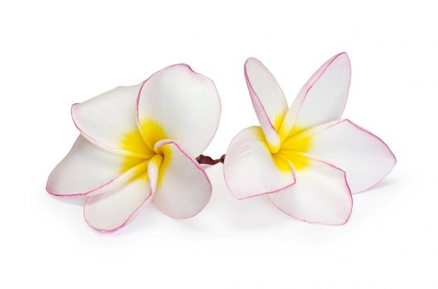 Kwiat frangipani