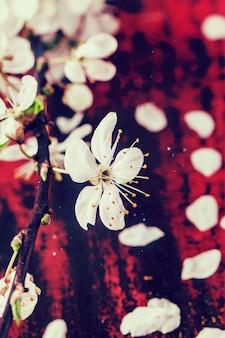 Kwiat gałąź wiśniowego drzewa