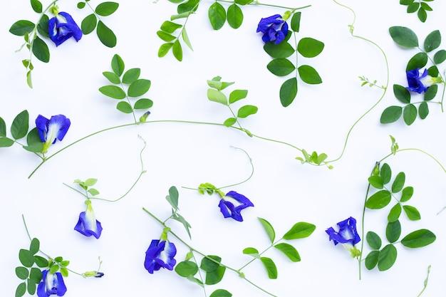 Kwiat grochu motyl lub groszek niebieski z liśćmi kopiowanie miejsca