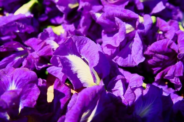 Kwiat grochu motylkowego wysycha w koszu do wymieszania z gorącą wodą do picia