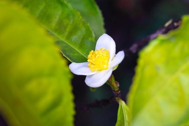 Kwiat herbaciany camellia sinensis biały kwiat na gałęzi, kwitnący krzew chińskiej herbaty, wiosna, zbliżenie, makro, ujęcie poziome