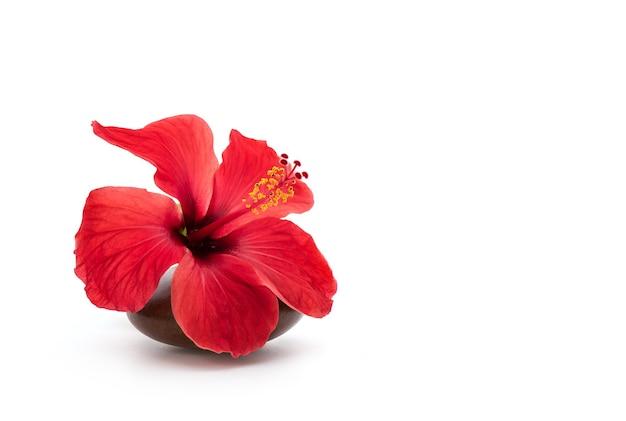 Kwiat hibiskusa lub hibiskusa na białym tle.