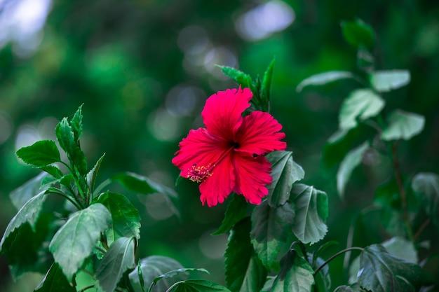 Kwiat hibiskusa w pełnym rozkwicie w ogrodzie w jasny słoneczny dzień