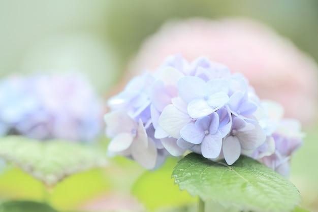Kwiat hortensji