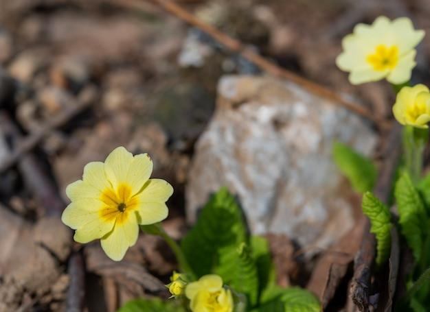 Kwiat i pączek pierwiosnka (primula vulgaris) na rozmytej naturalnej powierzchni