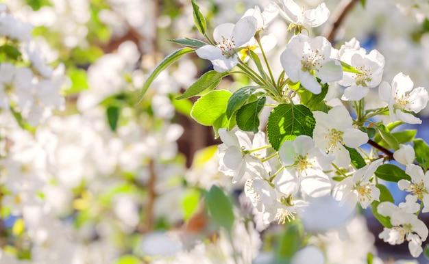 Kwiat jabłoni. biała wiosna kwitnie zbliżenie