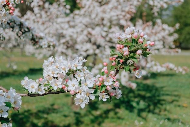 Kwiat jabłoni z białymi płatkami