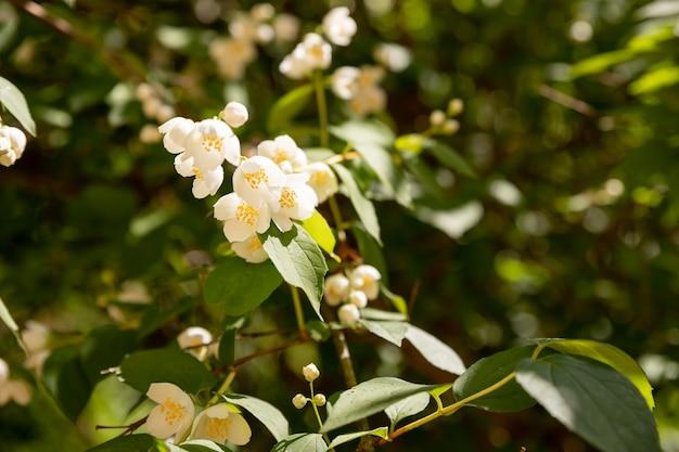 Kwiat jaśminu rośnie na krzaku w ogrodzie