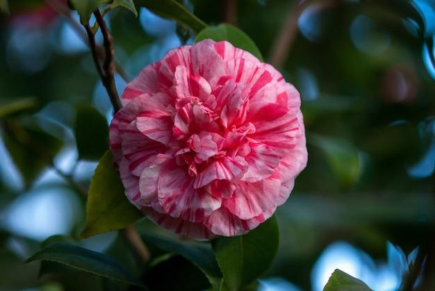 Kwiat kamelii - piwonia tworzy nieformalny podwójny kwiat z paskami i plamami