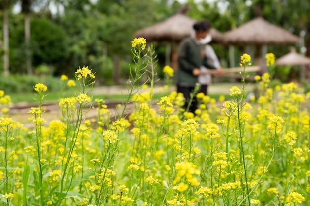 Kwiat kapusty pekińskiej rośnie w gospodarstwie.