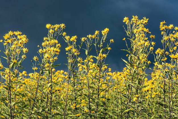 Kwiat karczocha jerozolimskiego. topinambur, zwany także sunroot, sunchoke, jabłko ziemne lub topinambur, jest gatunkiem słonecznika.