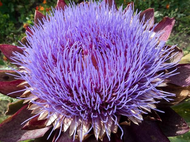 Kwiat karczocha zwyczajnego (cynara scolymus)