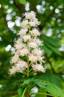 Kwiat kasztanowca na wiosnę. kwitnący wiosną kasztan. kwiat kasztanowca. park krajobrazowy. płatki i pyłek. alergia na pyłki. koncepcja zapylania i rozmnażania. kwiat kasztanowca.