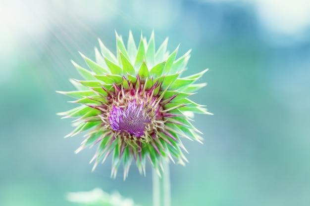 Kwiat kolczasty oset na kolorowe tło zamazane pole z promieni słonecznych