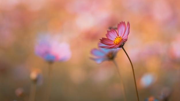 Kwiat kosmosu na polu