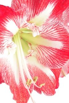 Kwiat kwitnący hippeastum amarillis.