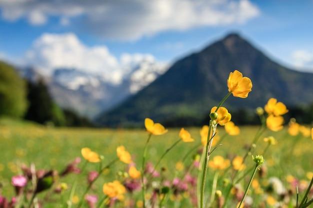 Kwiat łąka i pokryte śniegiem góry. bawaria, alpy, allgau, niemcy.