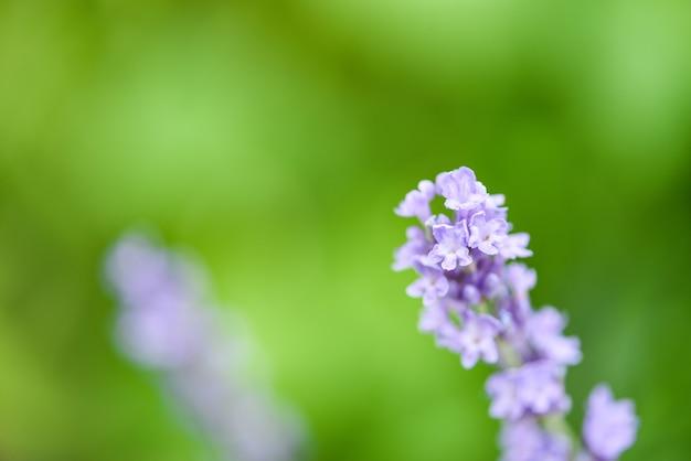 Kwiat lawendy kwitną na polach lawendy kwiat ogród tło, zbliżenie fioletowe kwiaty