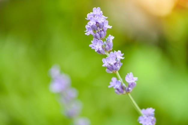 Kwiat lawendy kwitną na polach lawendy kwiat ogród w tle bliska fioletowe kwiaty