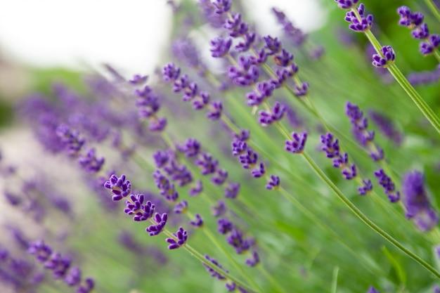 Kwiat lawendy w ogrodzie kwiatowym