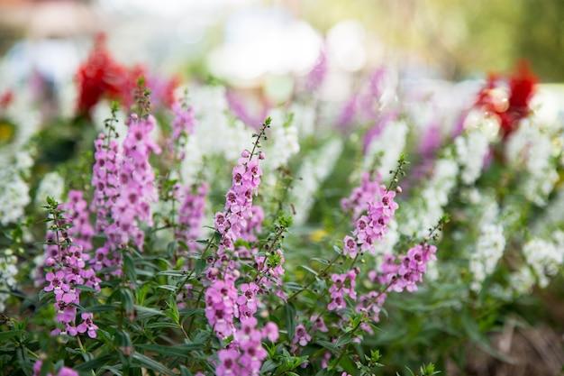 Kwiat lawendy w ogrodzie
