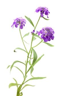 Kwiat lawendy z łodygą na białym tle