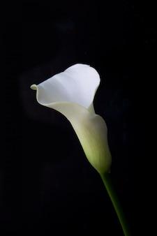 Kwiat lilii calla na ciemnej ścianie