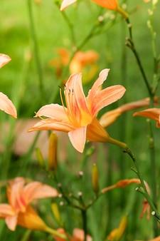 Kwiat lilii pomarańczowej