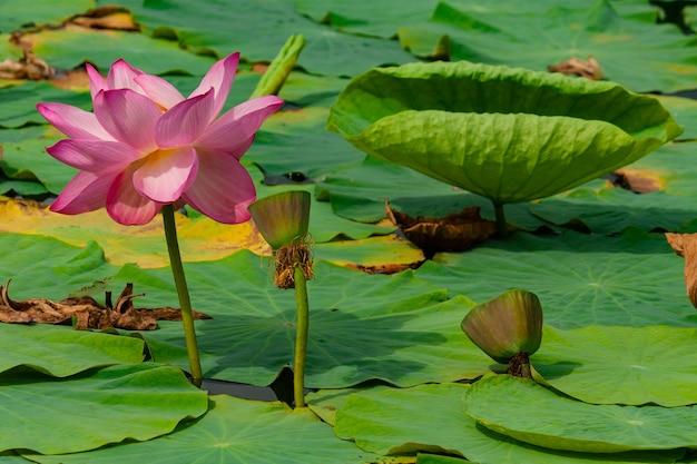 Kwiat lilii wodnej lub lotosu w letnim stawie.