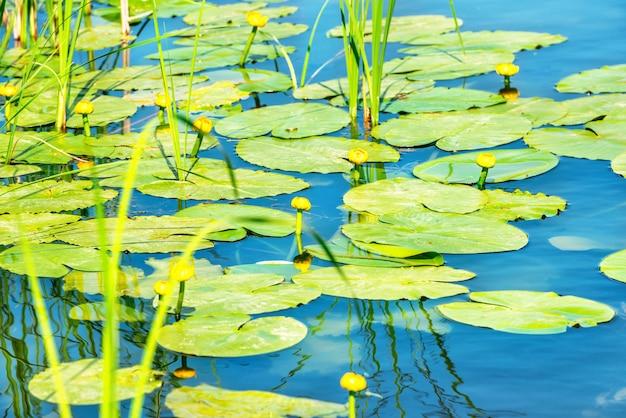 Kwiat lilii wodnej na stawie z liśćmi lotosu na stawie