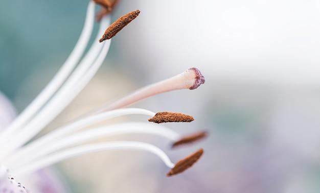 Kwiat lilii zbliżenie niebieskawo różowe tło kopii przestrzeni
