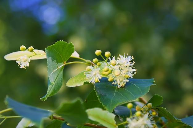 Kwiat linden
