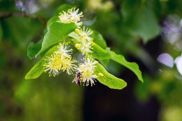 Kwiat lipy. pszczoła zbiera pyłek z kwiatów lipy
