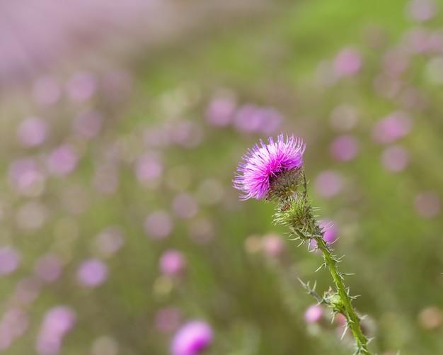 Kwiat łopianu na trawniku. naturalne tło z kwiatem lasu i rozmyte tło. roślina agrimony w przyrodzie.