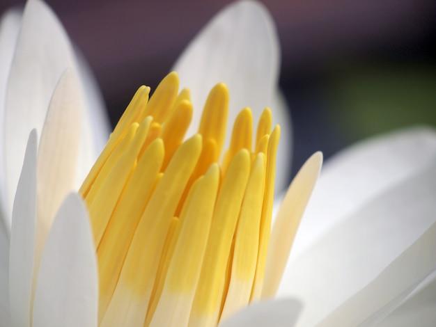 Kwiat lotosu makro