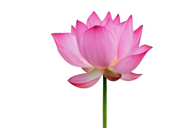 Kwiat lotosu na białym tle. plik zawiera ścieżkę przycinającą, która jest łatwa w obsłudze.