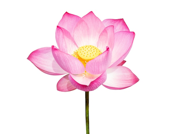 Kwiat lotosu na białym tle. plik zawiera ścieżkę przycinającą tak łatwą do pracy. kwiat lotosu na białym tle. plik zawiera ścieżkę przycinającą, dzięki czemu jest łatwa w obróbce.