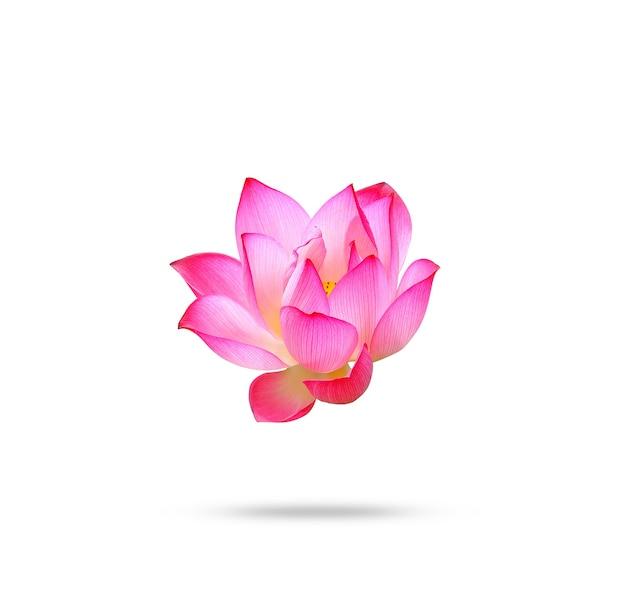 Kwiat lotosu na białym tle.