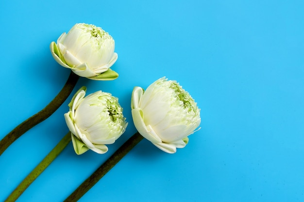 Kwiat lotosu na białym tle
