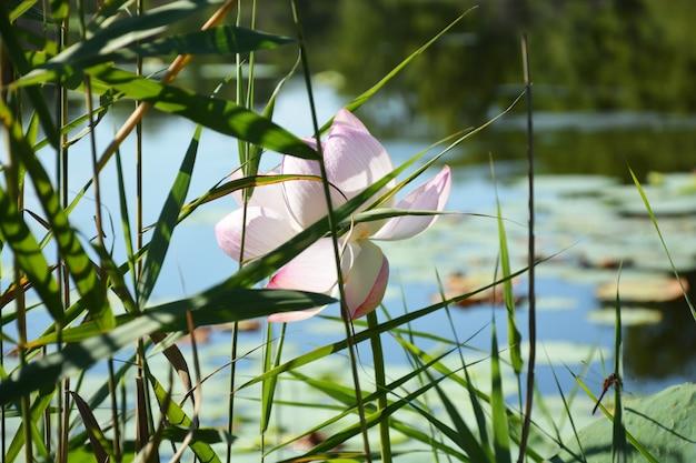 Kwiat lotosu na jeziorze
