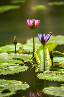 Kwiat lotosu - nelumbo nucifera